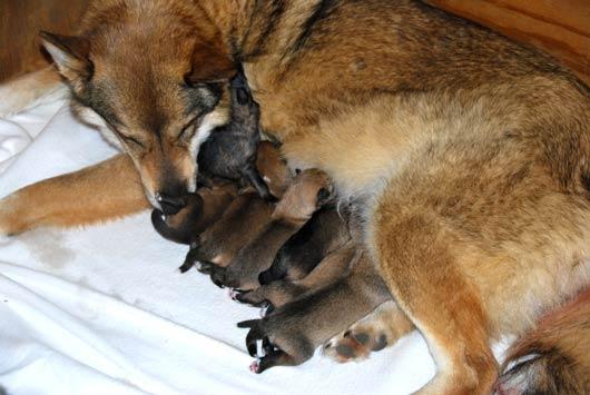 dwayka-verzorgt-pups